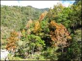 尖石鄉、秀巒村、青蛙石、薰衣草森林:秀巒楓樹林_49.JPG