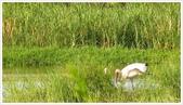 金山法鼓山、獅頭山公園、朱銘美術館:金山小白鶴長大了_551.jpg