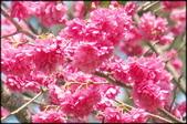 立法院、台北賓館、自由廣場、中正紀念堂:中正紀念堂櫻花-1_16.jpg