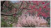 中部旅遊:草坪頭櫻花祭-1_006.jpg