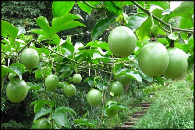 貓空樟樹步道、杏花林:貓空逍遙遊_70.JPG
