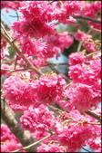 立法院、台北賓館、自由廣場、中正紀念堂:中正紀念堂櫻花-1_12.jpg