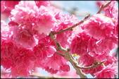 立法院、台北賓館、自由廣場、中正紀念堂:中正紀念堂櫻花-1_22.jpg