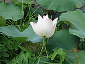 臺南縣-白河鎮:白河蓮花
