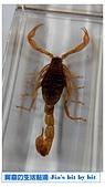 菜鳥 七年級:【生物課】蠍子標本
