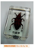 菜鳥 七年級:【生物課】竹象甲標本
