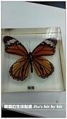 菜鳥 七年級:【生物課】蝴蝶(黑脈樺班蝶) 標本