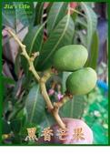 """我家裡有花園,花園裡有我家:來不及長大 """"黑香芒果"""", Hei-Xiang Mango"""