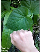 我家裡有花園,花園裡有我家:花園霸主!地瓜葉, Sweet potato leaves