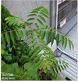我家裡有花園,花園裡有我家:健美先生~香椿(葉), Toona sinensis leaf