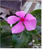 我家裡有花園,花園裡有我家:綻放生命的笑顏~長春花,  Periwinkle