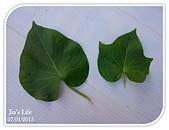我家裡有花園,花園裡有我家:地瓜葉姐妹, Sweet potato leaves~ 心兒 & 楓兒