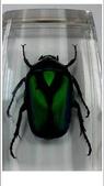 菜鳥 七年級:【生物課】金龜子標本