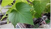 我家裡有花園,花園裡有我家:夏日的楓葉~地瓜葉, Sweet potato leaves