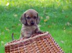 可愛小狗:可愛小狗-15