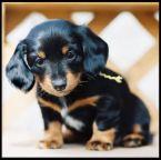 可愛小狗:可愛小狗-11