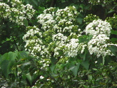 キリの花:キリの花桐花