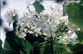 キリの花:2012桐花
