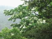 キリの花:キリの花