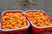 100-04-09 四訪美濃採橙蜜香和再訪金色三麥:照片 003.jp