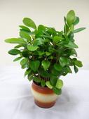 薔薇科:83萬里金山法鼓山1040201義賣厚葉石斑木.JPG