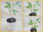 旋花科:槭葉小牽牛1020429.jpg