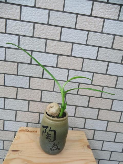 新店社大1070613文珠蘭.JPG - 教學集錦