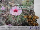 旋花科:槭葉小牽牛1020330ming贈 (2).JPG
