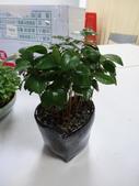 薔薇科:75八里農會1040526 厚葉石斑木.JPG
