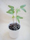 旋花科:槭葉小牽牛1020429 (1).JPG