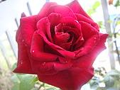 玫瑰與花:DSC03812.JPG