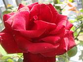 玫瑰與花:DSC03918.JPG