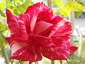 玫瑰與花:DSC03837.JPG