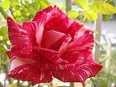 玫瑰與花:DSC03838.JPG