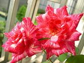 玫瑰與花:DSCN1592.JPG
