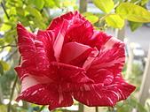 玫瑰與花:DSC03840.JPG