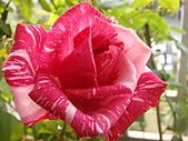玫瑰與花:DSC03842.JPG