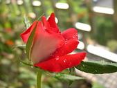 玫瑰與花:DSCN1560.JPG