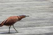 ㄋㄧㄠˇ ㄦ 新樂園(衛武營):黑冠麻鷺