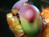 微距世界:蜻蜓 超特寫(忘了刮鬍子)