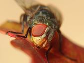 微距世界:蠅