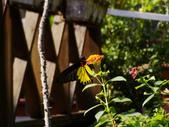 蝶舞戀花:珠光鳳蝶~瀕臨絕種保育類