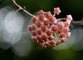 花卉系列:球蘭2.jpg