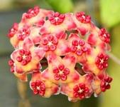 花卉系列:球蘭14.jpg