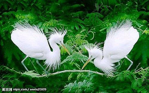 花鳥集:白鷺2.jpg