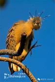 花鳥集:罕见的鸟-1嘯鷺.jpg