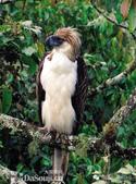 花鳥集:罕见的鸟-17菲律賓國鳥:食猿雕.jpg