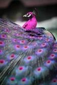 花鳥集:鳥中之王10.jpg
