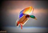 花鳥集:展翅飛姿11.jpg