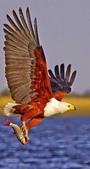 花鳥集:展翅飛姿8.jpg